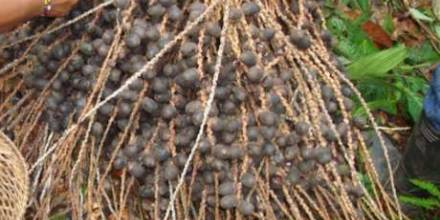 Bebidas ancestrales se preparan con la unguragua