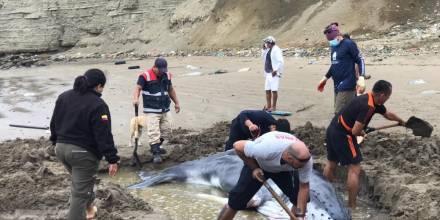 Rescatistas y voluntarios ayudan a ballena varada en Anconcito / Foto: cortesía Ministerio de Ambiente