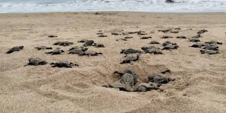 Más de 42 mil tortugas marinas han nacido en Esmeraldas desde el 2019 / Foto: Ministerio de Medio Ambiente