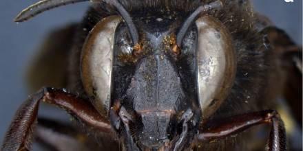Descubren en Ecuador un caso de una abeja andrógina: mitad hembra, mitad macho / Foto: EFE