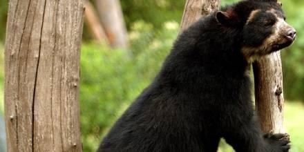 Ratifican la importancia de conectar los bosques en Ecuador tras avistar un oso andino / Foto: EFE