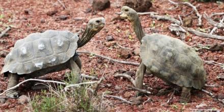 191 tortugas gigantes fueron liberadas en isla Santa Fe / Foto EFE