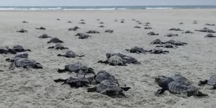 Nacen 78 tortugas marinas golfinas en una playa del norte de Ecuador / Foto: EFE