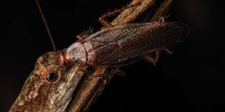Cucaracha que se alimenta de lágrimas de lagartija fue descubierta en Pastaza / Foto: cortesía Neotropical Biodiversity