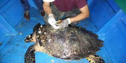 Ecuador marca por primera vez a una tortuga carey, en peligro de extinción / Cortesía del Ministerio de Medio Ambiente