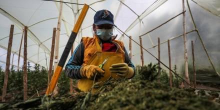CannAndes, una empresa que ve en el cannabis la materia prima del futuro / Foto: EFE