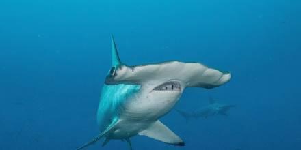Tiburón viaja 4.000 kilómetros, regresa a Galápagos y no se sabe dónde está / Foto: EFE