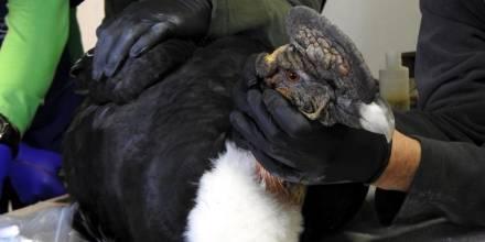 Rescatan en Imbabura a un cóndor con perdigones en el cuerpo / Foto: EFE