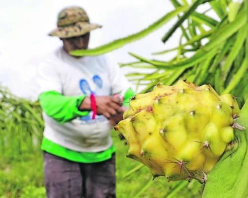 Durante la cosecha se usa mucha mano de obra en la retirada de espinas y recolección. Foto: Expreso