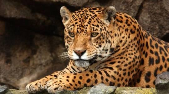 El equipamiento servirá para calcular el tamaño del hábitat de los especímenes marcados, que pueden ser tapires amazónicos, jaguares, puma, oso de anteojos, entre otros grandes mamíferos. (Cortesía)