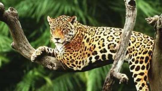 IMPORTANCIA. Mantener sano al jaguar permite que este 'proteja' los bosques en los que habita y que estos a su vez limpien el aire. Foto: La Hora